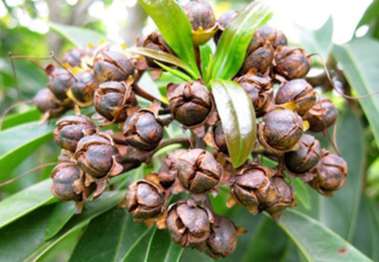 Xanthostemon Chrysanthus Pohon Lindung Berbunga 14 Berkarya